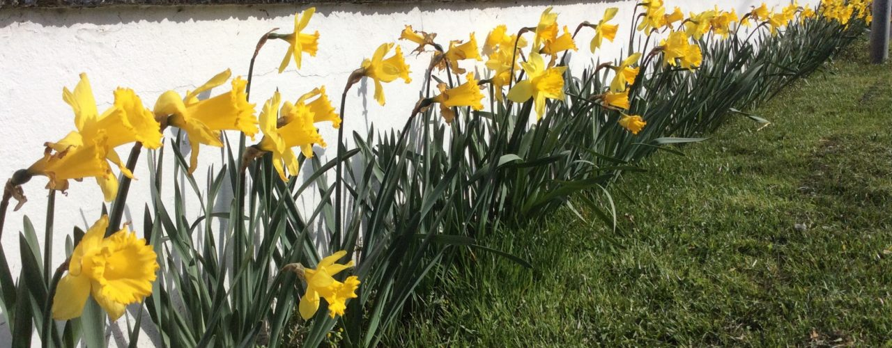 Daffodils at entrance